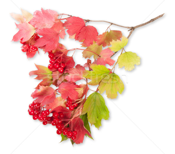 Viburnum On A Branch With Leaves Stock photo © Cipariss