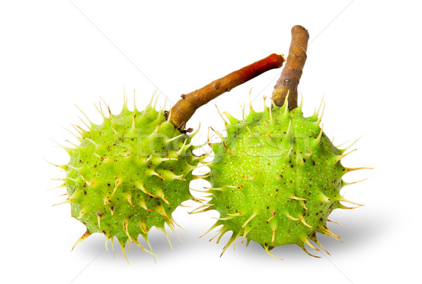 Two green chestnuts in the rind Stock photo © Cipariss