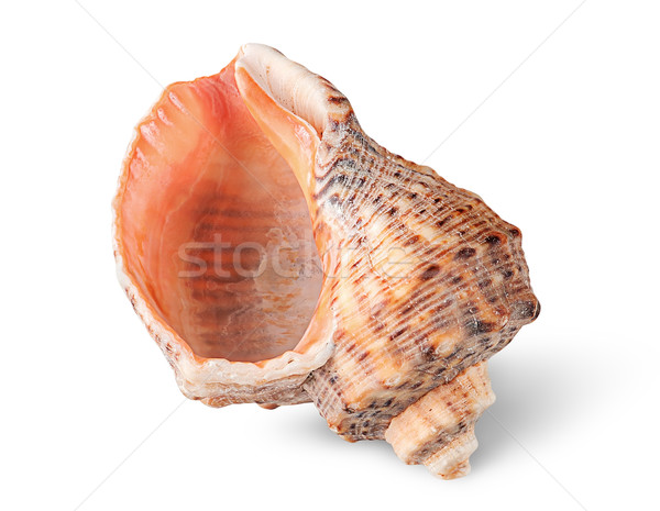 Seashell rapana vertically Stock photo © Cipariss