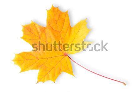 Sonbahar akçaağaç yaprağı yalıtılmış beyaz arka plan yaprakları Stok fotoğraf © Cipariss