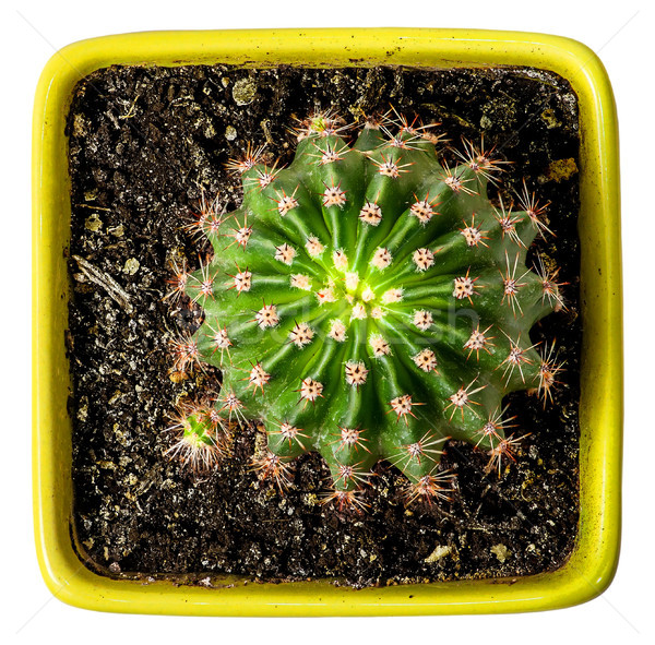 Groene cactus Geel bloempot top Stockfoto © Cipariss