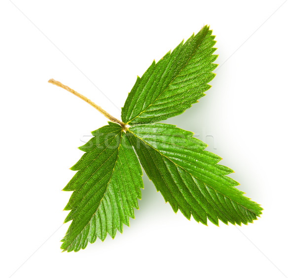 Wild strawberry leaf rotated Stock photo © Cipariss