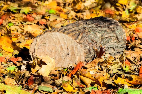 Oak logs on fallen colorful autumn leaves Stock photo © Cipariss