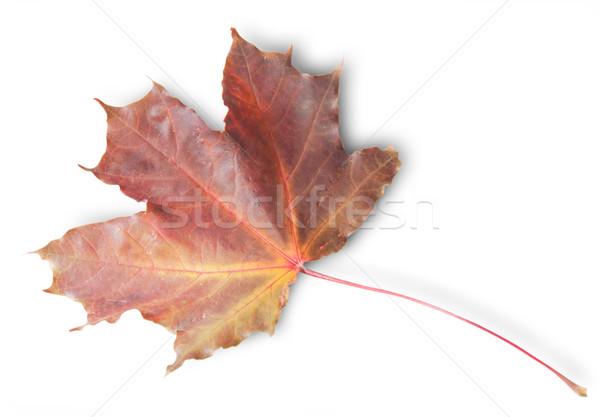 ボルドー 秋 カエデの葉 孤立した 白 デザイン ストックフォト © Cipariss