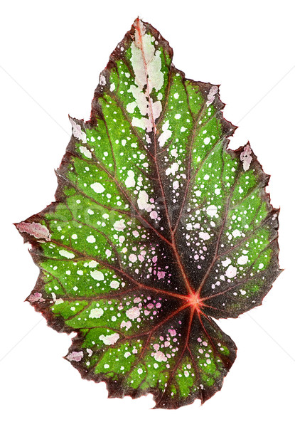 Begonia leaf vertically Stock photo © Cipariss