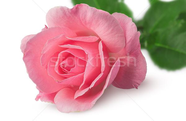 ストックフォト: クローズアップ · バラ · 花 · 孤立した · 白 · 自然