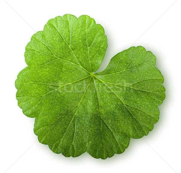 Green juicy leaf geranium top view Stock photo © Cipariss