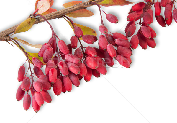 Ripe Barberry On A Branch Close-Up Stock photo © Cipariss