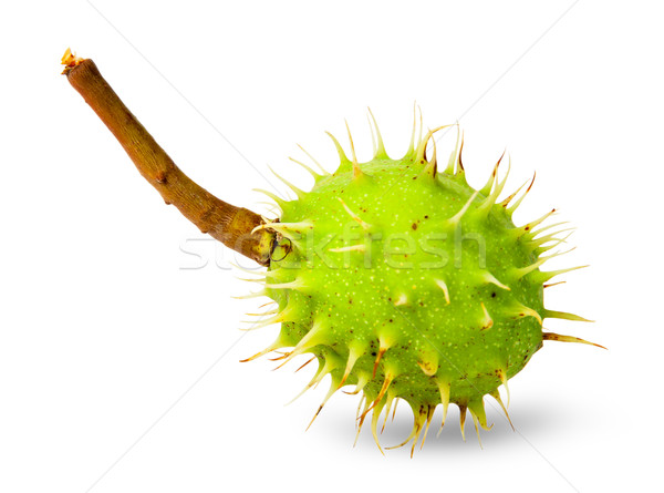 Green chestnut in the rind Stock photo © Cipariss