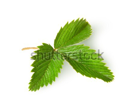 Wild strawberry leaf top view rotated Stock photo © Cipariss