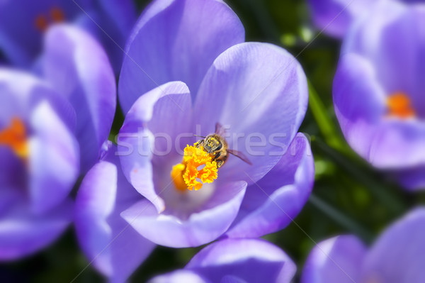 çiğdem mor çiçekler bahar zaman Paskalya Stok fotoğraf © cla78