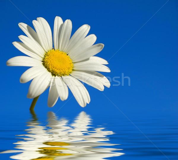 Daisy biały niebo szczęśliwy charakter lata Zdjęcia stock © cla78