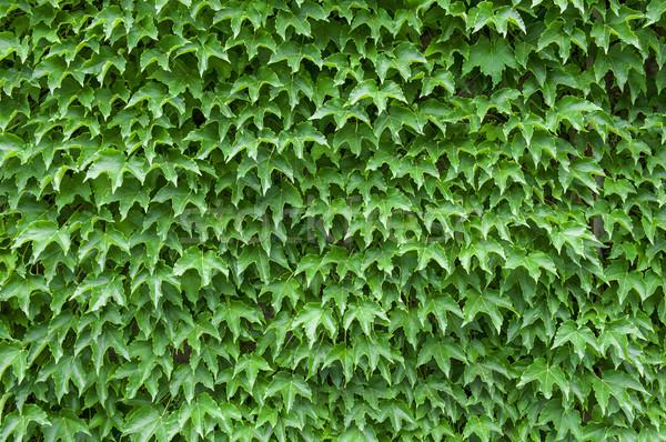 Ivy texture luminoso verde foglie muro Foto d'archivio © cla78