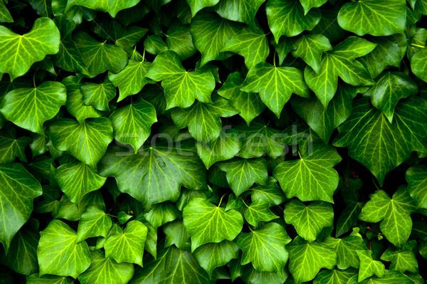 Lierre texture beaucoup couvrir mur feuille Photo stock © cla78