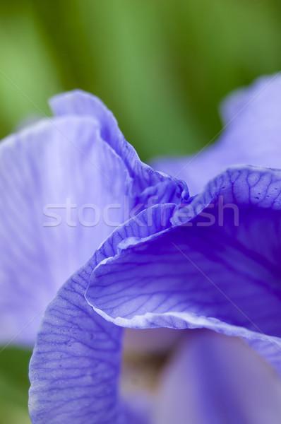 紫色 アイリス 花 抽象的な 美 ストックフォト © cla78