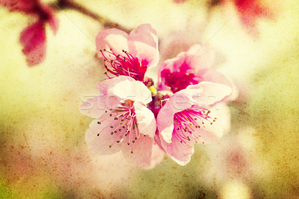Grunge şeftali çiçekler pembe bahçe Stok fotoğraf © cla78