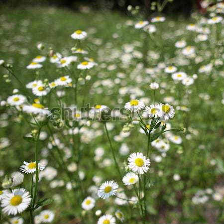 Daisy Stock photo © claudiodivizia