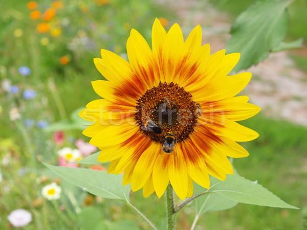 Sunflower flower Stock photo © claudiodivizia