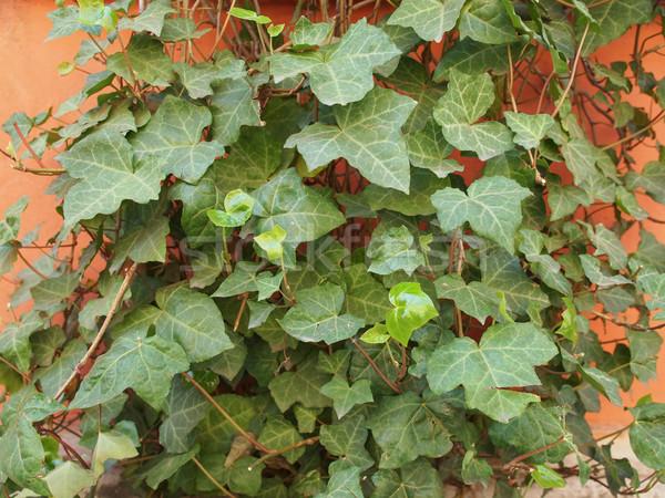 Ivy foglie verde arancione intonaco muro Foto d'archivio © claudiodivizia