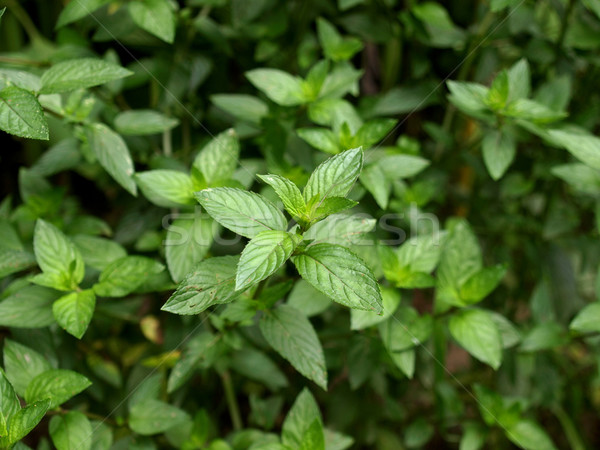 Borsmenta közelkép kilátás növény zöld levelek Stock fotó © claudiodivizia