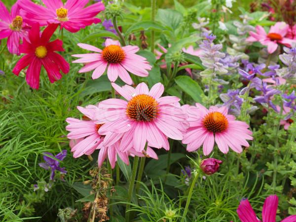 Daisy flower Stock photo © claudiodivizia