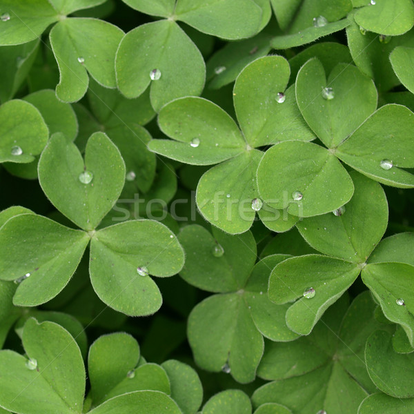 Shamrock Stock photo © claudiodivizia
