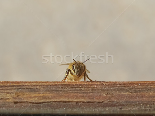 Bee insect Stock photo © claudiodivizia
