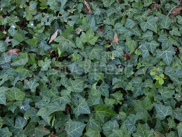Klimop groene bladeren nuttig textuur achtergrond Stockfoto © claudiodivizia