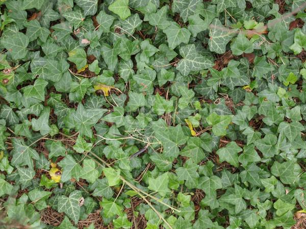 Sarmaşık yaprakları yeşil yararlı Stok fotoğraf © claudiodivizia