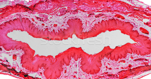 Epithelium micrograph Stock photo © claudiodivizia