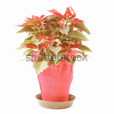 Poinsettia Stock photo © claudiodivizia