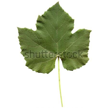 Ivy foglia isolato bianco fronte lato Foto d'archivio © claudiodivizia