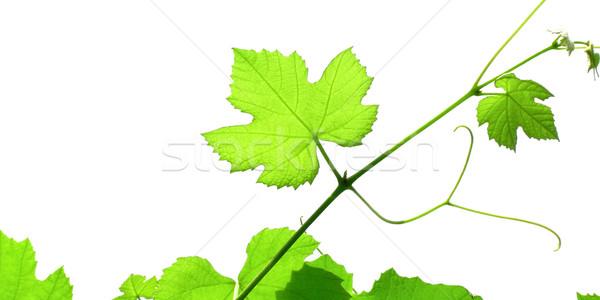 Wijnstok foto groene wijnstok bladeren geïsoleerd Stockfoto © claudiodivizia