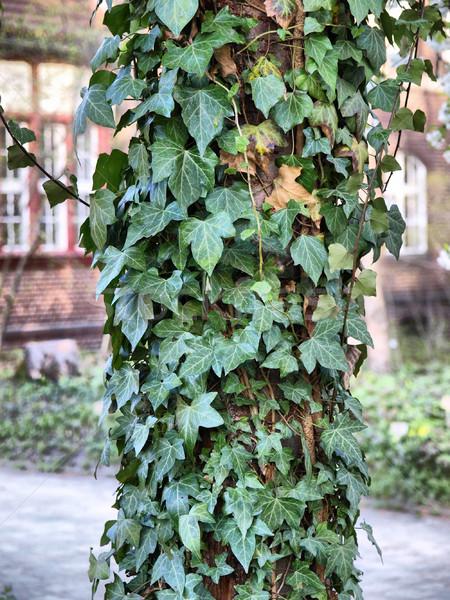 Klimop groene bladeren nuttig hoog dynamisch Stockfoto © claudiodivizia