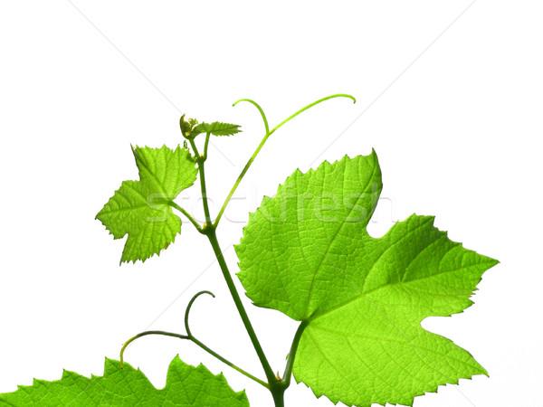 Asma yeşil asma yaprakları yalıtılmış beyaz Stok fotoğraf © claudiodivizia