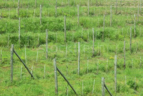 Grapevine plants Stock photo © claudiodivizia