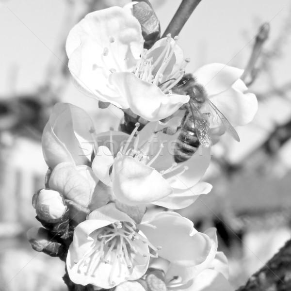 Bee nectar bloem abrikoos fruitboom Stockfoto © claudiodivizia