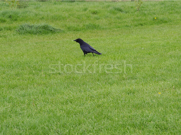 Black crow Stock photo © claudiodivizia
