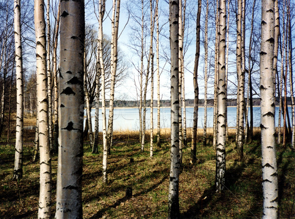 Birch trees Stock photo © claudiodivizia