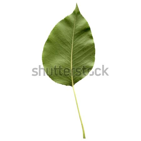 Pear leaf Stock photo © claudiodivizia