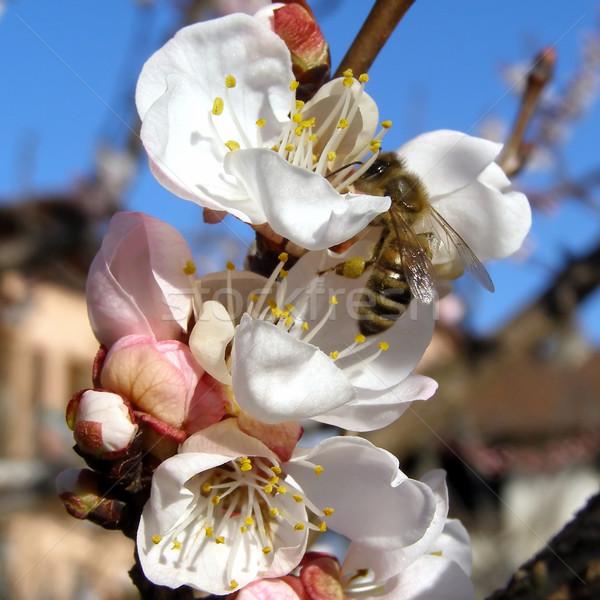 Pszczoła nektar kwiat morela drzewa owocowe Zdjęcia stock © claudiodivizia