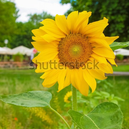 Sunflower flower Stock photo © claudiodivizia
