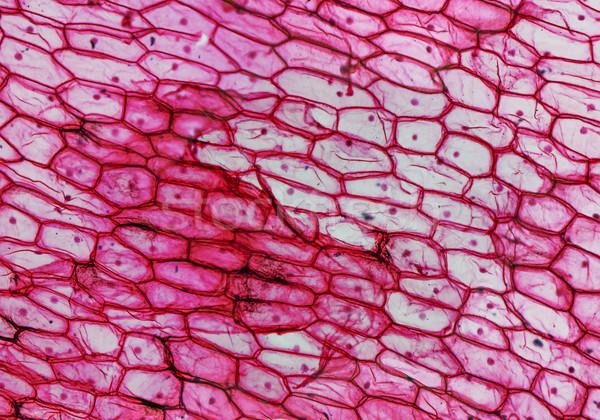 Onion epidermus micrograph Stock photo © claudiodivizia