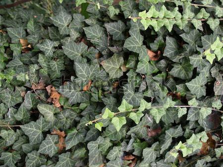 Borostyán zöld levelek hasznos textúra természet Stock fotó © claudiodivizia