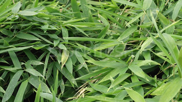 Bamboo Stock photo © claudiodivizia