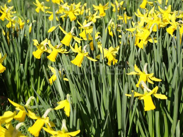 Nárciszok részlet házigazda arany virágok tapéta Stock fotó © claudiodivizia
