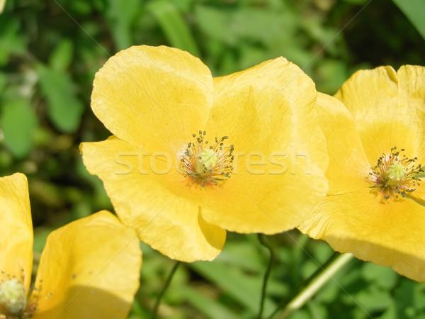黄色の花 庭園 背景 赤 工場 公園 ストックフォト © claudiodivizia