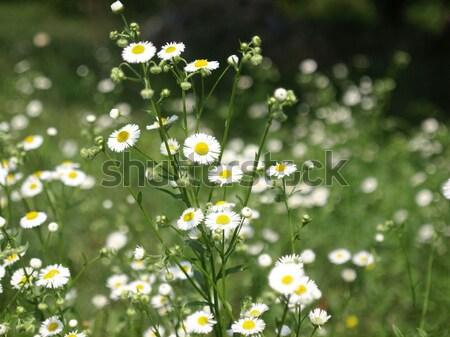 Daisy Stock photo © claudiodivizia