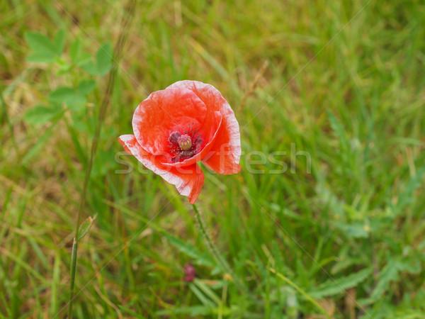 Papaver flower Stock photo © claudiodivizia