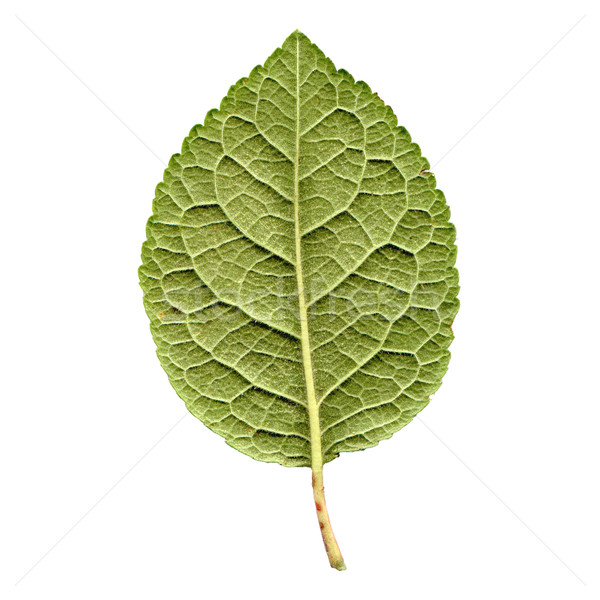 Prune leaf Stock photo © claudiodivizia